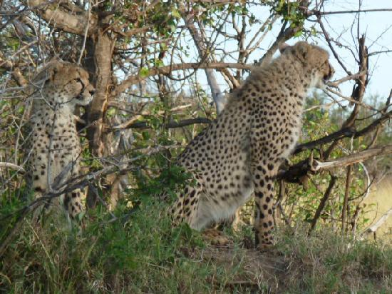 Porini Mara Camp: Pair of Cheetah's