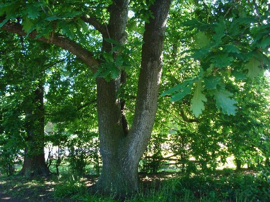 Camperdown, Australien: Oak tree at Timboon House