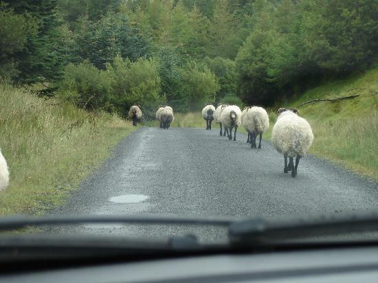 Westport, Ierland: Lost and following the sheep home