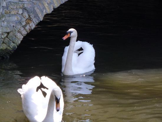 Absoluut Verhulst: Brugge swan