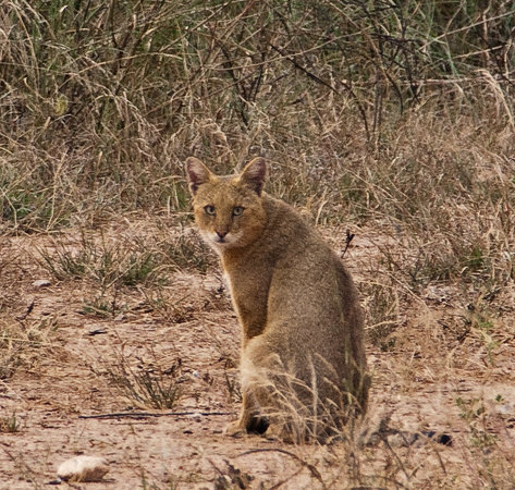 Alwar, Hindistan: Jungle cat