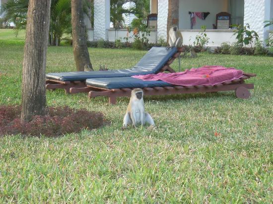 Southern Palms Beach Resort: Monkeys descending on the hotel