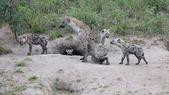 andBeyond Ngala Safari Lodge: Spotted hyena den (note baby peeking out of den)