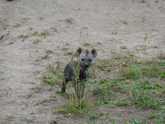 andBeyond Ngala Safari Lodge: Baby hyena (got brave...decided to check-out the jeep) About 1 month old (still dark in color)