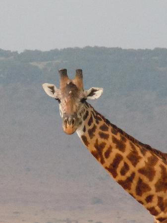 Mara Siria Camp: eine neugierige Giraffe