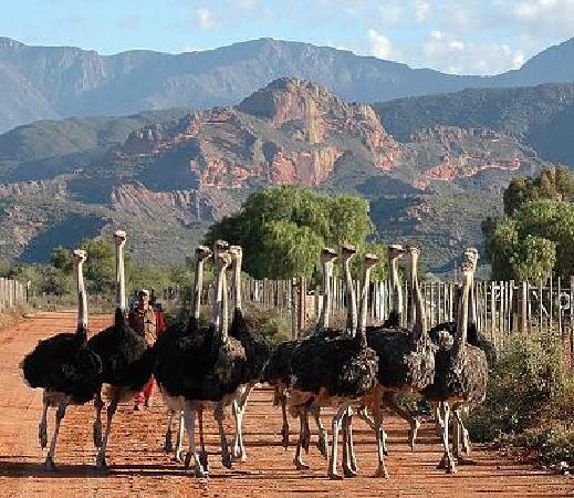 Rietfontein Ostrich Palace: Ostriches