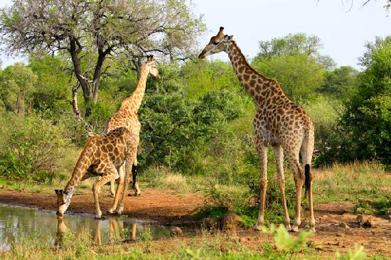 Singwe River Lodge: Giraffes at the watering hole