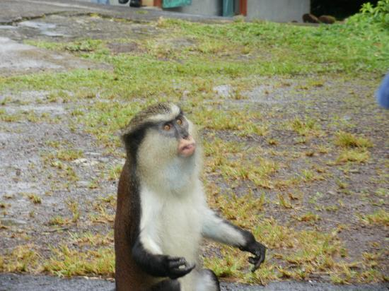 Grand Etang National Park, Grenada: Loverboy monkey