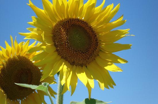 Culture Discovery Vacations - Day Tours : sunflowers for REAL