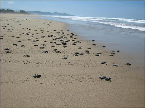 Playa Viva: The Turtles!!!! So much FUN