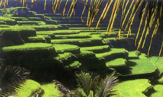 Bali, Indonesia: UBud Rice terrace