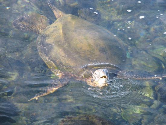Napili Point Resort: Sea turtles galore.
