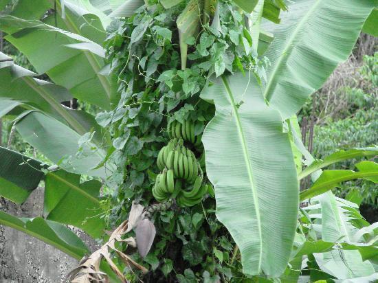 Νεγκρίλ, Τζαμάικα: Bananas Growing in someone's back yard