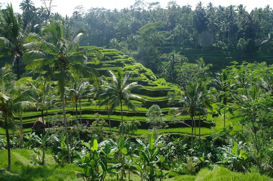 Bali Breeze Tours: Rice terraces