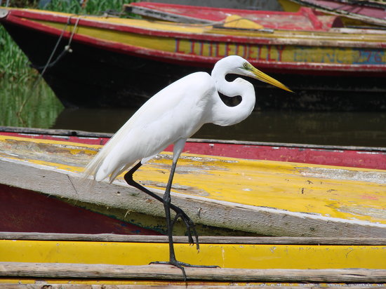 Black River, Jamaica: egret on the dock