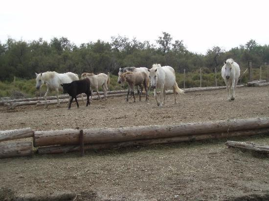 Saintes-Maries-de-la-Mer, Francia: Die weissen Pferde der Camargue