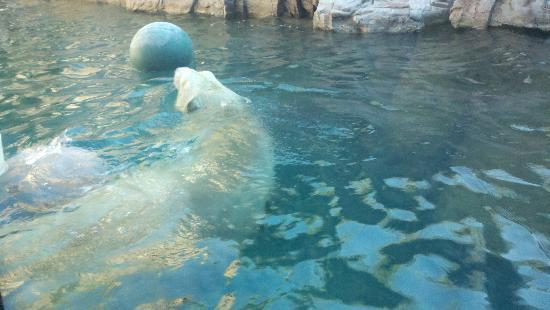 Reid Park Zoo : This is the view from the lower polar bear viewing area.  I am standing right at the window, no