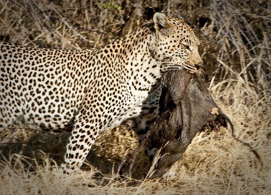 Chitabe Lediba Camp: Unbelievable place for leopards