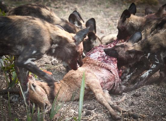 Chitabe Lediba Camp: a pack of around 20dogs  killing