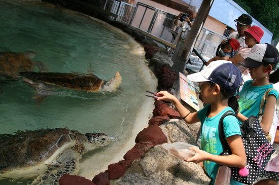 Awashima Marine Park: ウミガメの餌はイカでした