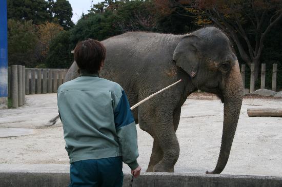 Chiba, Japan: ゾウのターゲットトレーニング風景