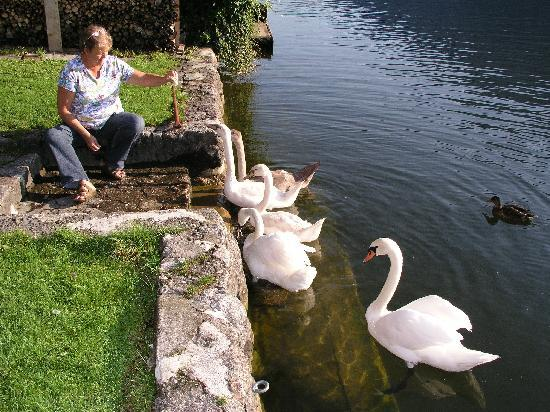 Feeding the swans in the front yard of Pension Sarstein