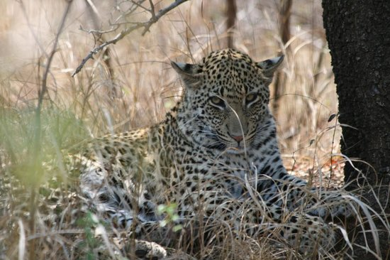 Nationaal Park Kruger, Zuid-Afrika: Big leopard relaxing beside the road.