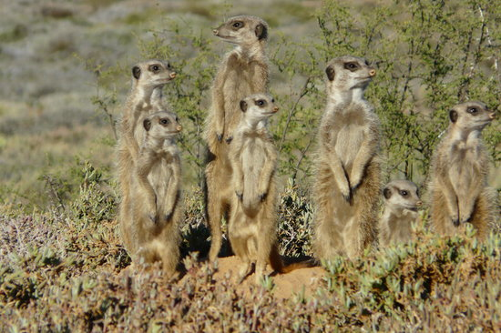Meerkat Adventures: On lookout