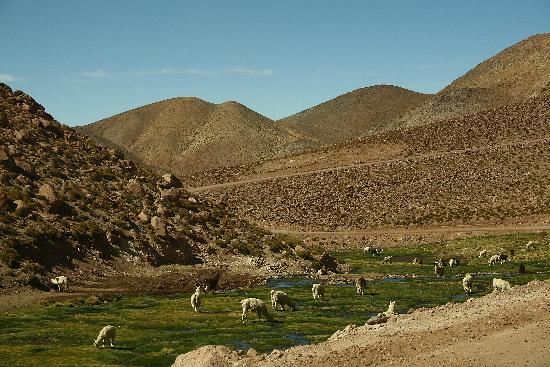 San Pedro de Atacama, Chile: BOFEDAL CON LLAMAS