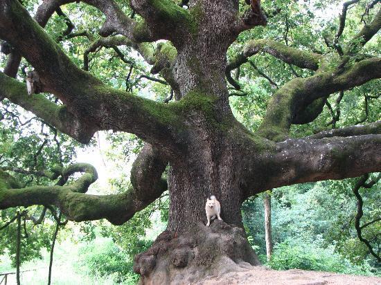 B&B Colle degli Oleandri : quercia secolare