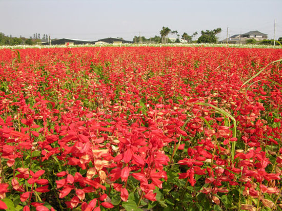 ไถจง, ไต้หวัน: Shin-she sea of flowers, Taichung County