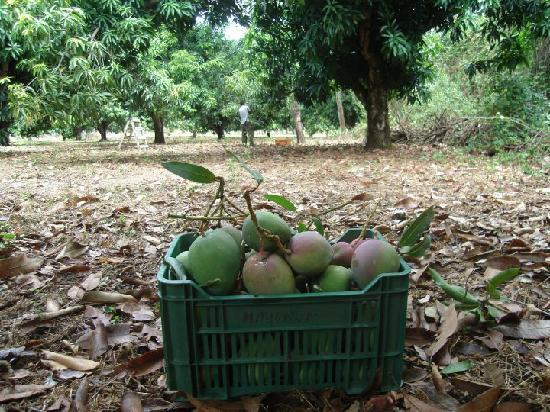 Hotel Paraje del Diria: Near Mango Plantation