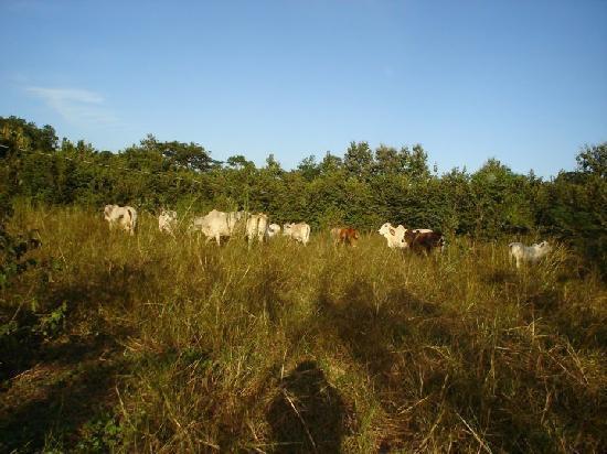 Hotel Paraje del Diria: Cattle