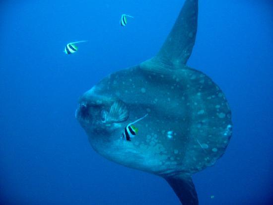 Big Fish Diving: mola-mola crystal bay nusa lembongan