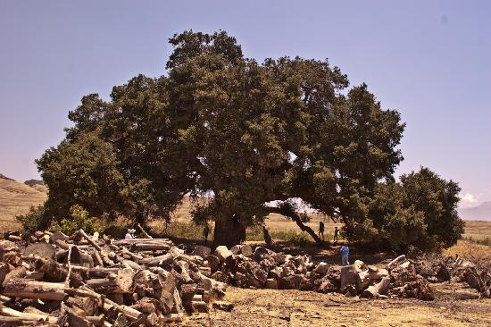 Highland Springs Resort and Conference Center: Majestic 1000 year old oak tree