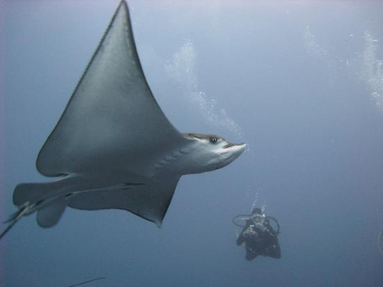 Big Fish Diving: Eagle ray