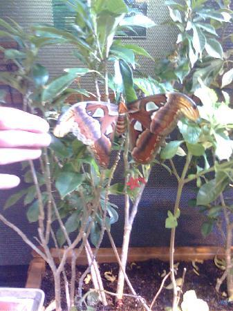 Bend, OR: The Atlas Moth -- largest wing span in the world