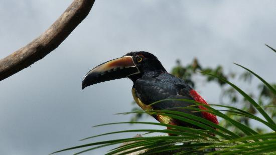 San Carlos, Costa Rica: Tucan
