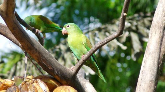 San Carlos, Costa Rica: Papagei