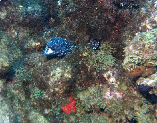 Roseau, Dominica: spotted moray eel diving dominica with ALDive