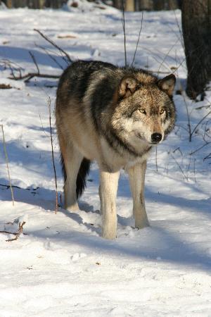 Lakota Wolf Preserve: Wolf 1