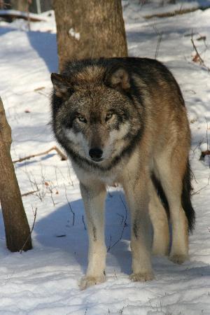 Lakota Wolf Preserve: Wolf 2