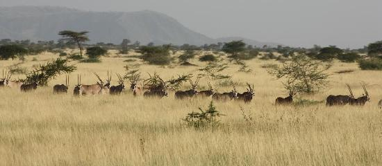 [Image: herds-of-oryxes-at-awash.jpg]