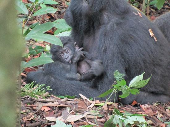 Bwindi Lodge: The main attraction