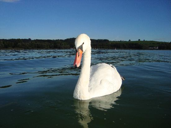 Dole, France: cygne