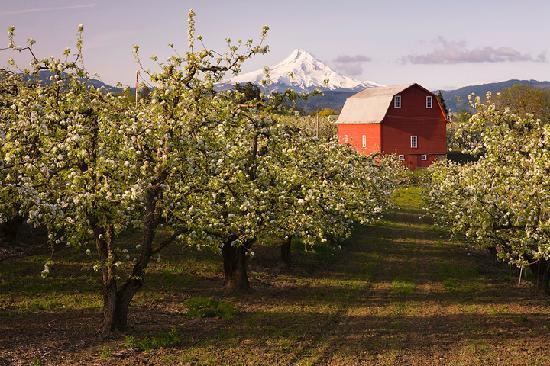 Hood River Orchard and Old Red Barn