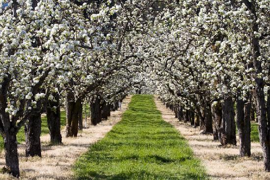 Hood River, Oregón: Fruit Orchards in the Spring