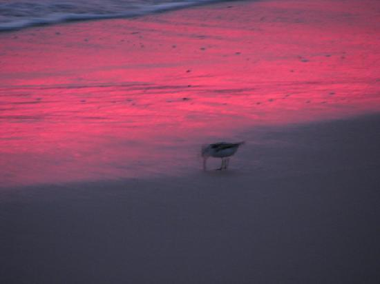 sandpiper at Cape May Point State Park