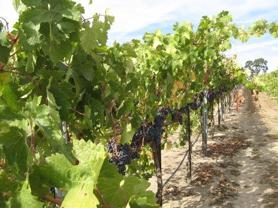 Sculpterra Winery & Sculpture Garden: grapes  waiting for harvest
