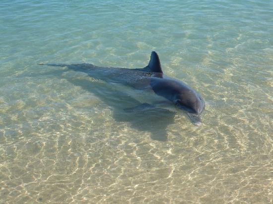 Monkey Mia, Australie : dauphin pris de la plage